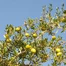 Der Arganbaum und das flüssige Gold
