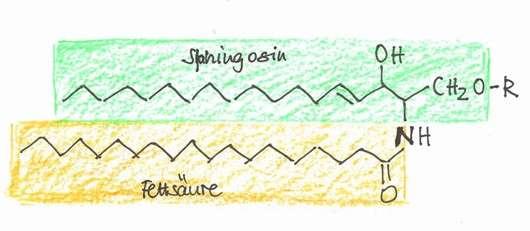 Abb.1: Allgemeine Struktur der Ceramide: R = H Ceramid, R = Glucose Glucosylceramid